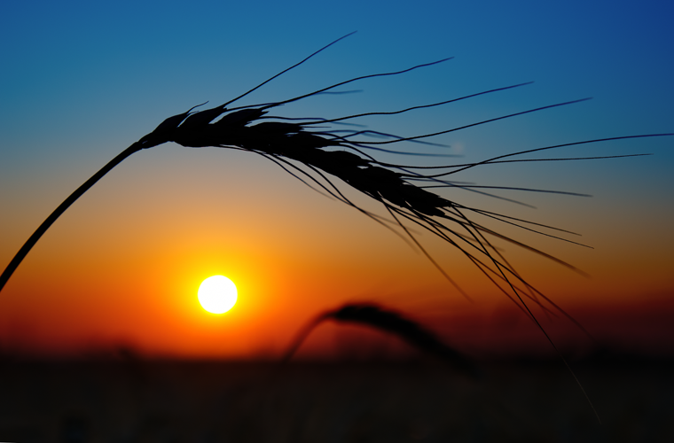 wheat-field-sunset-farm