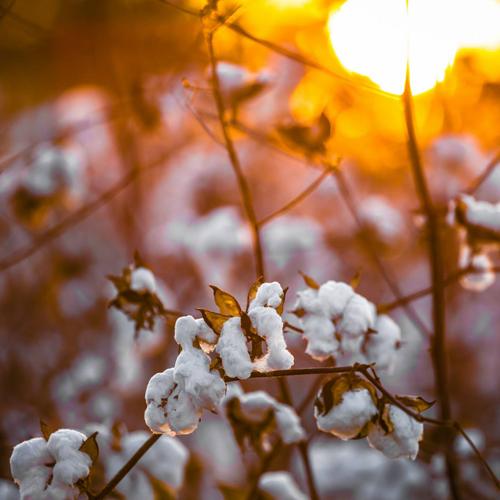 cotton-farm