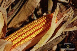 Aflatoxin corn